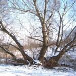Bäume ohne Stamm