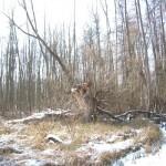 Uralter Baumbestand