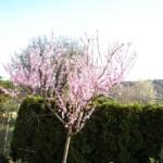 Nektarinenbaum