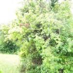 Wirtsbaum