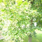 Lindenblütentee
