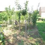 Obstbaum veredeln