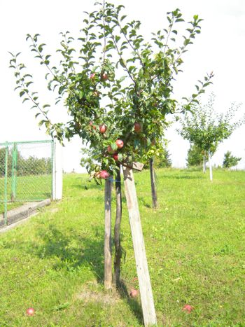 Veredelter Obstbaum