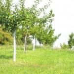 Veredelte Baumreihe
