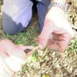 Obstbaumveredelung