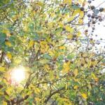 Seltene Baumfrüchte